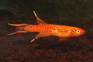 golden lyretail killifish adult male