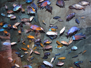 malawi fish with rock backgrounds