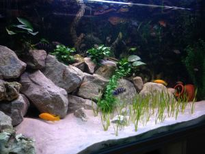 aquascaped malawi aquarium