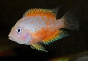 red convict cichlid female