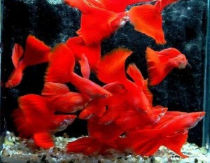 pedigree red guppies