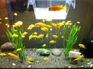 yellow lab fish breeding set up