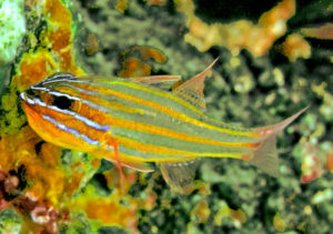 Orangestriped Cardinalfish Ostorhinch cyanosoma