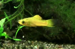 pygmy swordtail