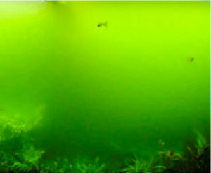 An aquarium blighted by algae