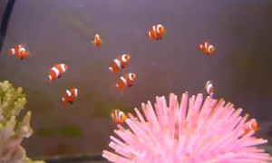 aquarium bred two month old clownfish