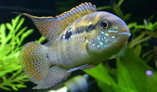blue acara male