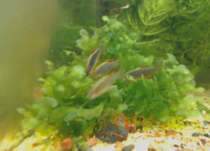 breeding group galaxy rasboras