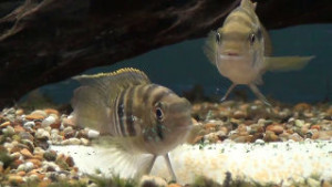 breeding pair of blue acara guarding the eggs