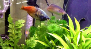 pair rainbow fish spawning