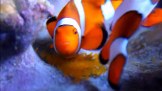 pair of clownfish breeding