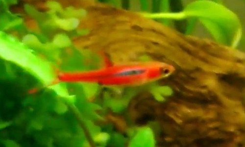 Nano fish in a nano aquarium - The fish doctor