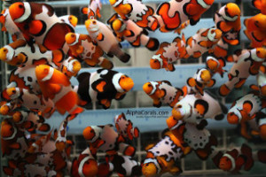 selection of clownfish