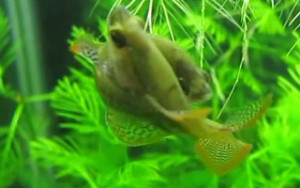 Close up of male sparkling gourami embracing female