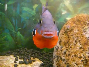 male firemouth cichlid flaring gills and swelling throat