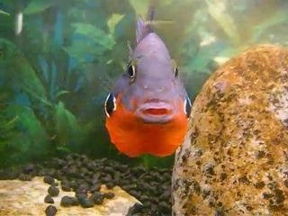 Breeding firemouth cichlids - The fish doctor