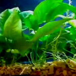 Healthy aquarium plants in an aquarium