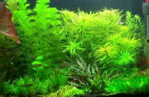 healthy but overgrown aquarium plants