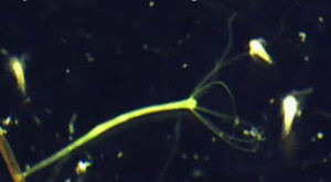 hydra catching daphnia. hydra is a threat to fry