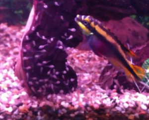 kribensis mother guarding newly free swimming fry