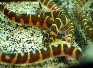 kuhli loaches on gravel eating