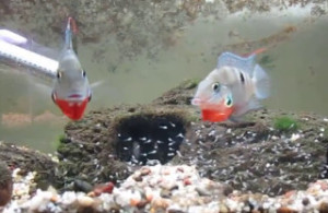 male & female firemouth cichlid guarding fry and flaring