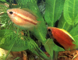 male and female honey gourami