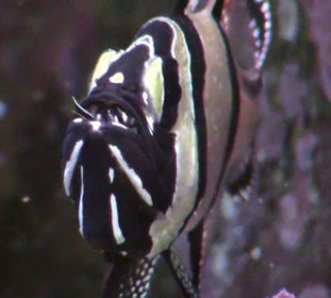 male banggai cardinalfish brooding a mouthfull of young fish