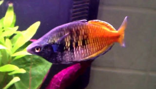 colourful male boesmans rainbow fish