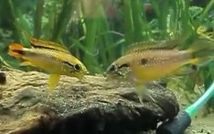 male and female cacatuoides having a confrontation