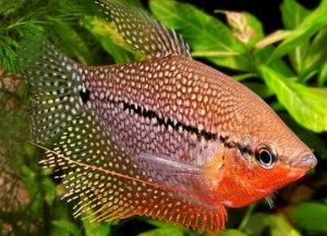 male pearl gourami with red breast
