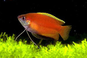 male red honey gourami