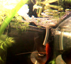 spawning pair pearl gouramis releasing eggs