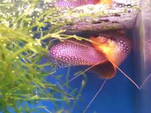 spawning pair of pearl gouramis in embrace