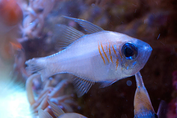 Threadfin cardinal fish apogon leptacanthus the fish doctor for The fish doctor