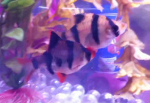 breeding pair tiger barbs