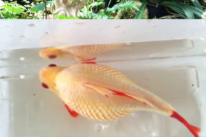Goldfish-with-dropsy