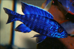 all blue male peacock cichlid from lake malawi