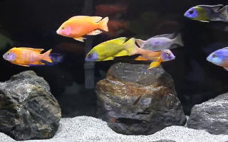 The aulonocara peacock cichlid aquarium