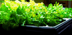 A successful aquaponics system will give a bountiful crop