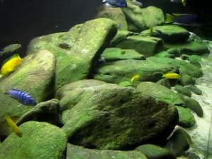 Malawi biotope aquarium with algae on rocks