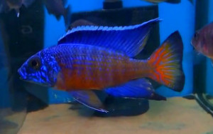 male aulonocara ngara - flametail red peacock