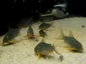 school of sterbai corydoras catfish