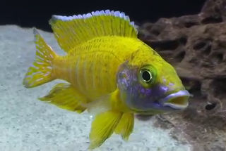 male yellow peacock cichlid