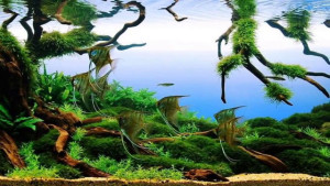 aquascape to replicate amazon river scene with angelfish