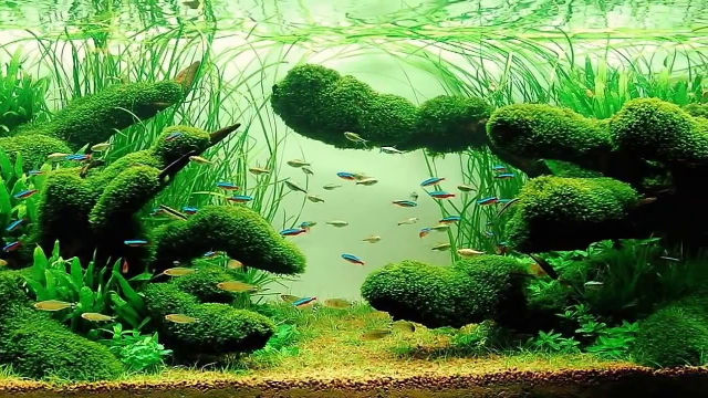 Balanced Aquascape Using Moss Covered Driftwood.
