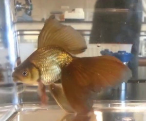 Nice example of a veiltail. Chocolate coloured veiltail