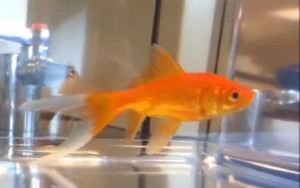 The comet goldfish is a simple variant on the common goldfish