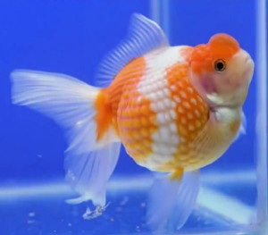 Crown pearlscale goldfish showing perfect spherical body
