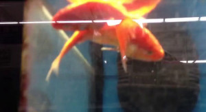 two dead goldfish neglected in an aquarium